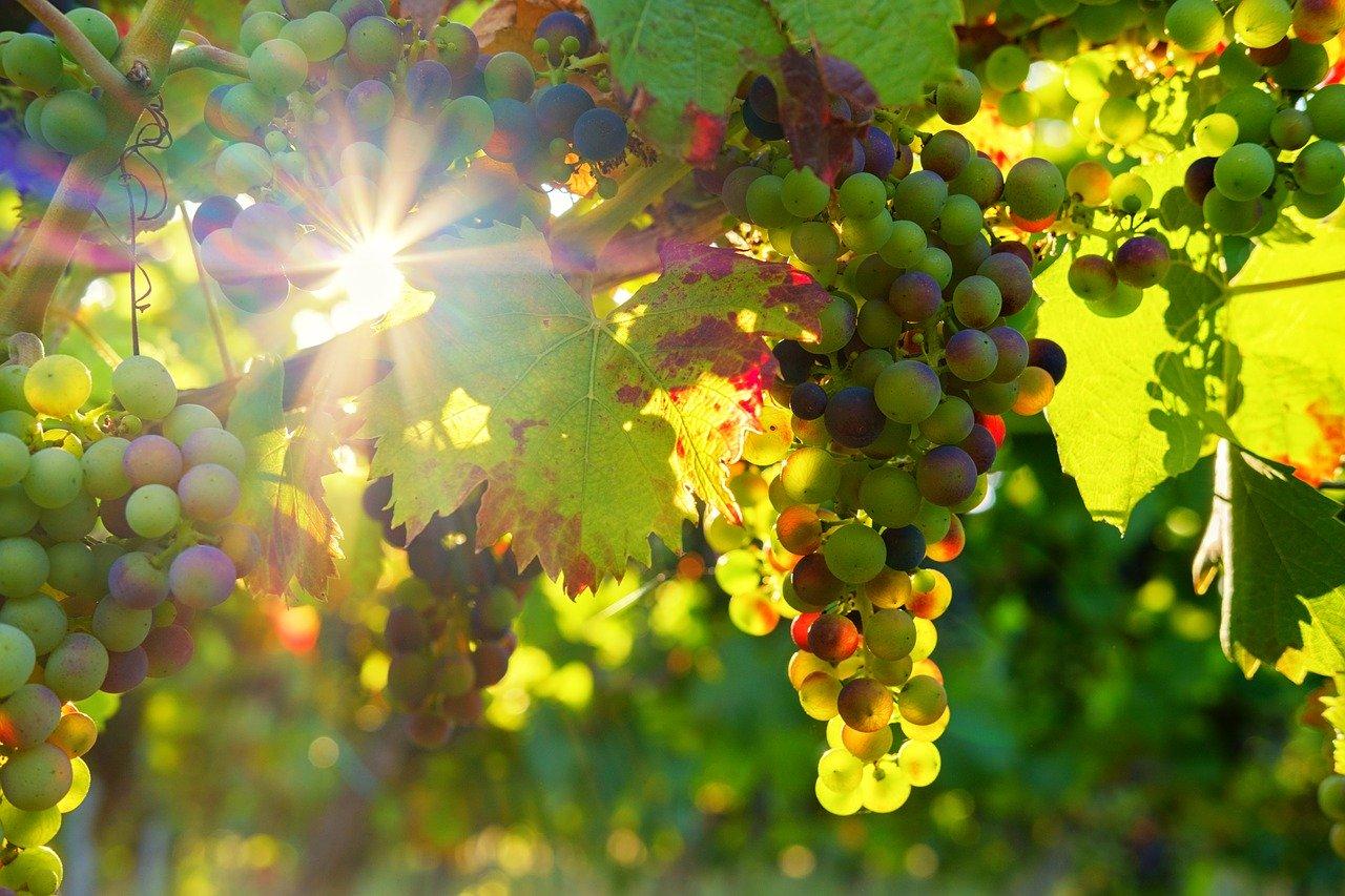 Vinná réva, léčivé účinky